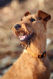 Portrait of a happy Irish Terrier closeup. Portrait of a happy young Irish Terrier closeup royalty free stock photography