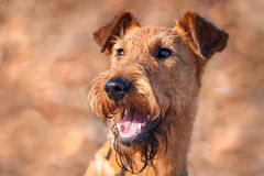 Portrait of a happy Irish Terrier closeup Royalty Free Stock Image