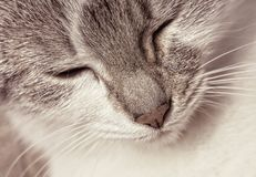 Portrait of a happy kitten in sepia tone Royalty Free Stock Images