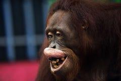 Happy Orangutan money smile portrait. Portrait of happy Orangutan money & x28;Pongo pygmaeus& x29; smiling with his dirty teeth Royalty Free Stock Photo