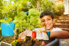 Happy boy planting strawberries in container royalty free stock images