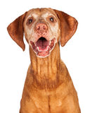Portrait of Happy Vizsla Dog Stock Photography