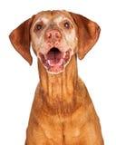 Portrait of Happy Vizsla Dog Stock Photography