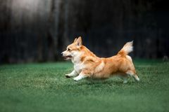 portrait happy Welsh corgi dog run on field . green grass background royalty free stock images