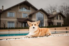 Portrait happy Welsh corgi dog sit beiside swimming pool. house on background. Cute portrait happy Welsh corgi dog sit beiside swimming pool. house on background royalty free stock photography