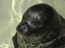 A Portrait of a Harbor, or Common, Seal Royalty Free Stock Images