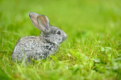 Portrait of Hare Royalty Free Stock Image