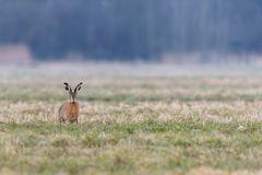 Portrait of a hare Lepus europaeus sitting in a field stock photos