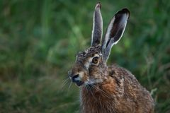Portrait of a hare with long ears royalty free stock image