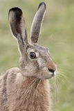 Portrait of a hare. Hare in the wild, portrait royalty free stock photography