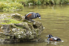 Portrait of Harlequin Duck Histrionicus Histrionicus Stock Photography