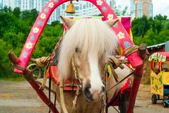 Portrait of harnessed pony royalty free stock photos
