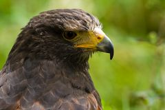 Portrait of Harris hawk Royalty Free Stock Images