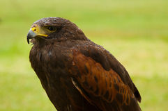 Portrait of Harris Hawk Royalty Free Stock Photo