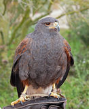 Portrait of a Harris Hawk Stock Images