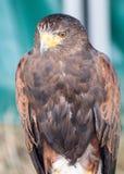 Harris Hawk Portrait stock images