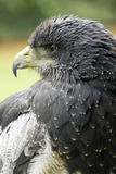 Portrait of a harris hawk Royalty Free Stock Photos