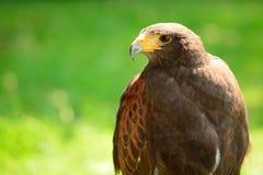 Portrait of a Harris hawk Royalty Free Stock Image