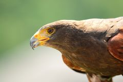 Portrait of a Harris hawk Royalty Free Stock Images