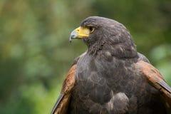 Portrait of a harris hawk Stock Images