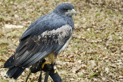 Portrait of a Black chested Buzzard Royalty Free Stock Image