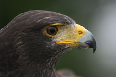 Portrait of a Harris Hawk Headshot Stock Image