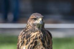 Portrait of a Harris Hawk. Stock Photo