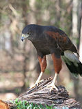 Portrait of a Harris Hawk Raptor Royalty Free Stock Photos