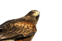 Portrait of a Harris Hawk on white background Royalty Free Stock Photography