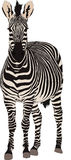 Portrait of a hartmann mountain zebra, standing and looking to v Stock Photos