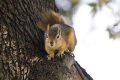 Portrait haut étroit d'un Sciurus Anomalus, écureuil caucasien sur un tronc d'arbre prêt à fonctionner image stock