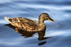 Portrait haut étroit de canard femelle dans l'eau photo stock