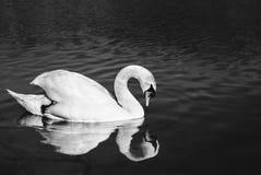 Portrait haut étroit de cygne sur la rivière regardant sur elle-même dans la réflexion de l'eau sur le coucher du soleil Cygn image libre de droits