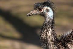 Portrait haut étroit de novaehollandiae de Dromaius d'émeu Oiseau animal de faune d'Australie Photographie stock libre de droits