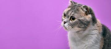 Portrait haut étroit du chat écossais de race de pli regardant un côté images stock