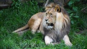 Portrait haut étroit du lion masculin respirant clips vidéos