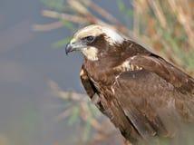Portrait haut et détaillé très de fin de harrier de marais femelle Images stock