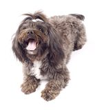 Portrait of a havanese dog Royalty Free Stock Photos