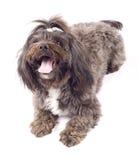 Portrait of a havanese dog Royalty Free Stock Photos