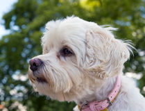 Portrait of havanese dog Stock Photography