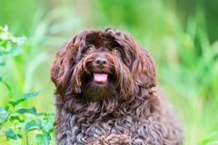 Portrait of a Havanese dog. Outdoor portrait of a cute Havanese dog Royalty Free Stock Photo