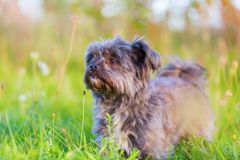 Portrait of a Havanese hybrid Royalty Free Stock Images