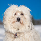 Portrait of a Havanese Royalty Free Stock Photos