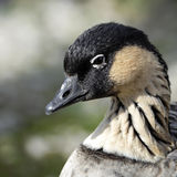 A portrait of a Hawaiian Goose or NeNe. Royalty Free Stock Images