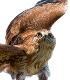 Portrait of hawk Stock Image