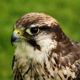 Portrait of hawk Royalty Free Stock Photos