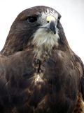 Portrait of a Hawk. Close up of Red Tailed Hawk looking stern royalty free stock image