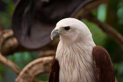 Portrait of hawk Stock Images