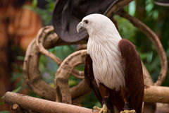 Portrait of hawk Royalty Free Stock Image