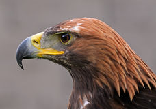 Portrait of Hawk. Hawk bird seen in close up portrait Stock Photos